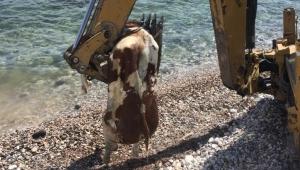 Çeşme'de sahile vuran ölü inek vatandaşları şaşırttı